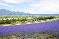 Colorful of Lavender farm in Japan Stock Images