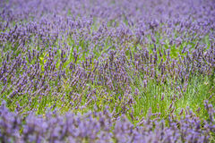 Colorful lavender field with green stalks and violet blossoms Stock Image
