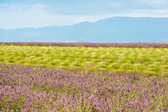Colorful lavender field with green stalks and violet blossoms Stock Photography