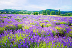Colorful lavender field in Hungary near Tihany. On a cloudy morning Royalty Free Stock Photo