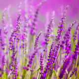 Colorful lavender flower Royalty Free Stock Photography