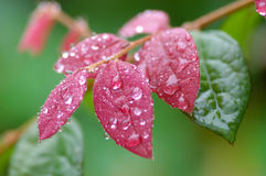 Colorful Leaf. Beautiful red purple leaf after the rain Royalty Free Stock Photo