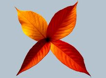 Colorful fall leaf abstract on gray background. Colorful leaf abstract in autumn colors on gray glassy background royalty free stock photo