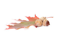 Colorful leaf and acorns on a white. Royalty Free Stock Images