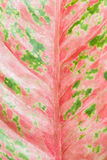 The colorful leaf of Araceae. For background use Royalty Free Stock Photos