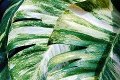 Colorful leaf background, rainforest plants. Tropical ivy, epipremnum scindapsus stock photos