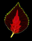Colorful Leaf on Black Royalty Free Stock Image