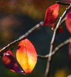Colorful leaf on branch in fall on a sunny day in Kentucky. Close up stock photos