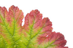 Colorful leaf closeup Royalty Free Stock Image