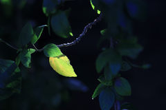 Colorful leaf in the dark background. There is only one colorful leaf in the dark, because sunlight has fallen on that leaf of this tree Royalty Free Stock Image