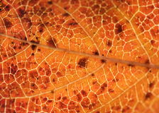 Colorful leaf macro. Colorful orange leaf macro detail Stock Photography