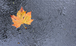 Colorful Leaf on Wet Asphalt Royalty Free Stock Photos