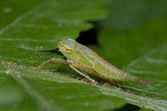 A colorful leafhopper nymph Royalty Free Stock Image