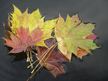 Colorful leafs. Royalty Free Stock Image