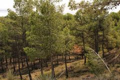 Colorful and leafy pine forest in the mountain. In spring royalty free stock photos