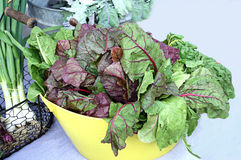 Colorful Leafy Salad Greens Stock Photo