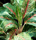 Colorful leaves. A plant with colorful leaves in a garden Stock Image