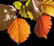 Colorful leaves Royalty Free Stock Image