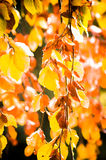 Colorful leaves. On a tree in autumn Stock Photo