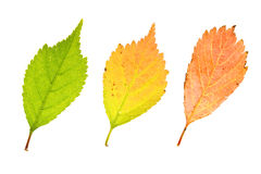 Colorful  leaves of  Royalty Free Stock Photos
