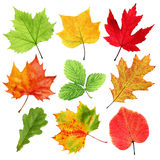 Colorful leaves. Collection of colorful fall and summer leaves isolated on white Stock Photography
