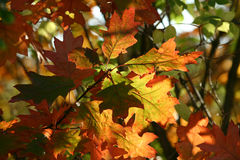 Colorful leaves. Oak leaves in autumn stock images