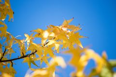 Colorful leaves in autumn, blue sky. Autumn, leaf, colourful, laves, yellow, blue, leaves, fall, beautiful, heaven, dye, sky, season, thanks, giving, old stock image