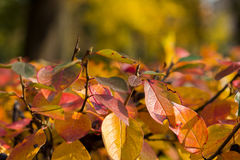 Colorful leaves of autumn bush. The top of the bush with lots of bright colorful autumn leaves with blurry background Royalty Free Stock Images