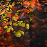 Colorful leaves in autumn. In the Cansiglio forest, Italy Royalty Free Stock Photography