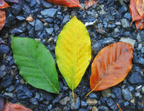 Colorful leaves in autumn Royalty Free Stock Photography