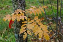 Colorful leaves in autumn forest. The colorful leaves in autumn forest royalty free stock photography