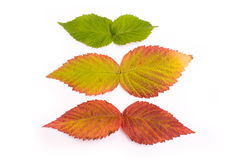 Colorful leaves in autumn. gradient. isolate Stock Photos