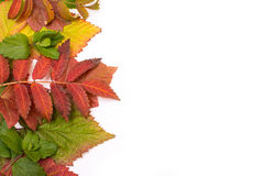 Colorful leaves in autumn. gradient. isolate Royalty Free Stock Photo