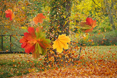 Colorful leaves in autumn park. Colorful leaves fall from trees in the colourful autumn park Royalty Free Stock Photo