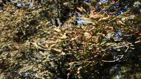 Colorful leaves autumn season stock video