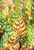Colorful Leaves Background. With Green, Yellow, Red and Orange Color Royalty Free Stock Photo