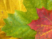 Colorful leaves background. Colorful autumn background. Yellow, green and red maple leaves Royalty Free Stock Photography