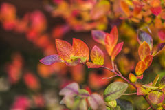 Colorful leaves of bilberry in garden. Royalty Free Stock Photography