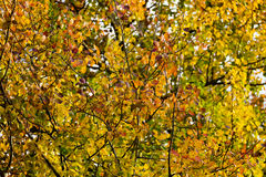 Colorful leaves on branches. Many colorful, autumn leaves on many branches Royalty Free Stock Photography