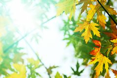 Colorful leaves and bright sunlight Royalty Free Stock Photography