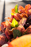 Colorful leaves of Codiaeum variegatum Stock Photos