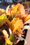 Colorful leaves of Codiaeum variegatum. Under sunlight Royalty Free Stock Image