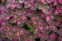 Colorful leaves, Coleus mix or flame nettle royalty free stock photos