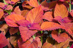 Colorful leaves on coleus plants Royalty Free Stock Photography