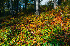 Colorful leaves covering ground Royalty Free Stock Photo