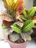 Colorful leaves of Croton plant stock photos