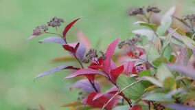 Colorful leaves of decorative bush sway in wind in autumn. Shades of red, green