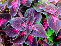 Colorful leaves. Decorative vibrant purple, pink and green leaves Stock Images
