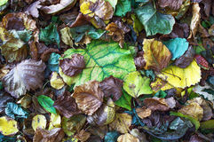 Colorful leaves. Dry colorful leaves fall to the ground Royalty Free Stock Images