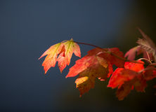 Colorful leaves in fall Royalty Free Stock Image